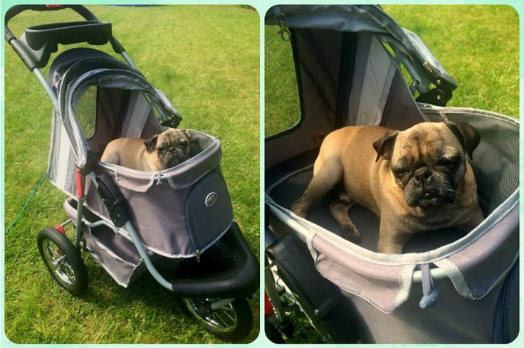 mops Aleksander pięknie dziękuje za nowy wózek!