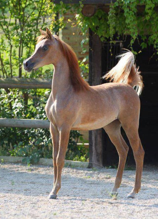 Strawberry Roan Arabian Filly                                                                                                                                                      Mehr