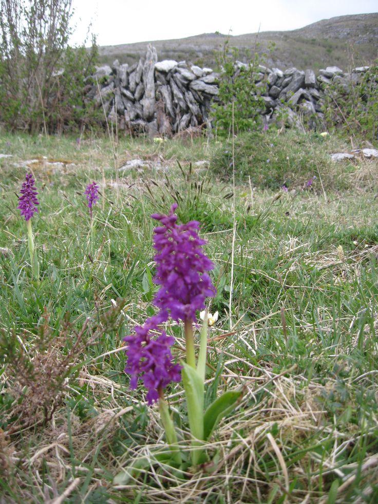 Wild flowers on the Burren.