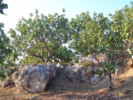 Pistacchio di Bronte, Siciliani