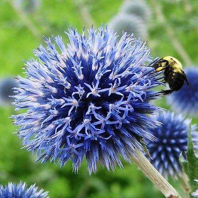Blue Globe Thistle (Echinops Ritro) - Add a distinct texture to your garden by sowing Globe Thistle seeds! They are a great addition to the cottage garden or a mixed perennial garden. Globe Thistle fl