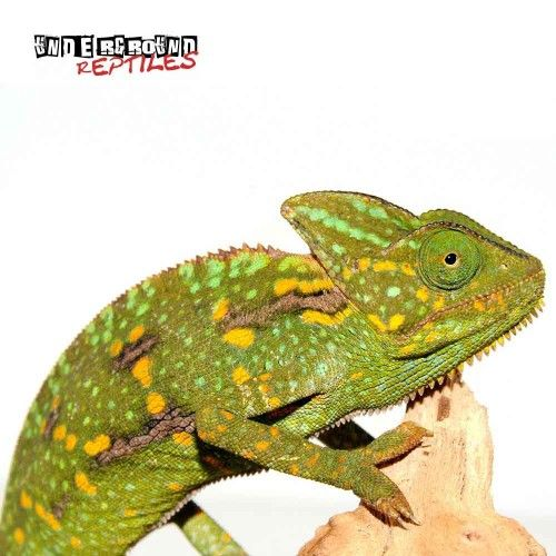 4 to 5 inch Veiled Chameleons For Sale - Underground Reptiles