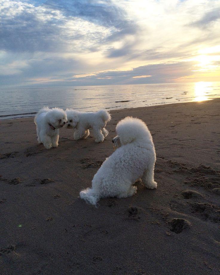 Bichon frise  Elsa&Alma ❤️ Friends on the beach ☀️