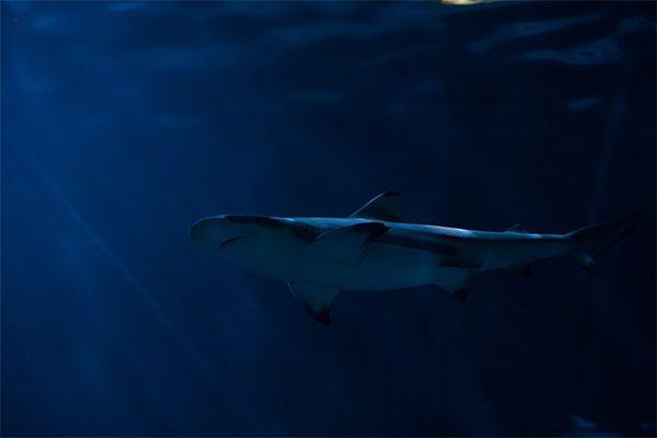 Как акула находит жертв в темноте?