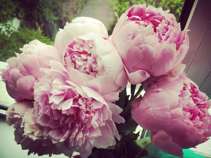 peonies beautiful spring  flowers in May