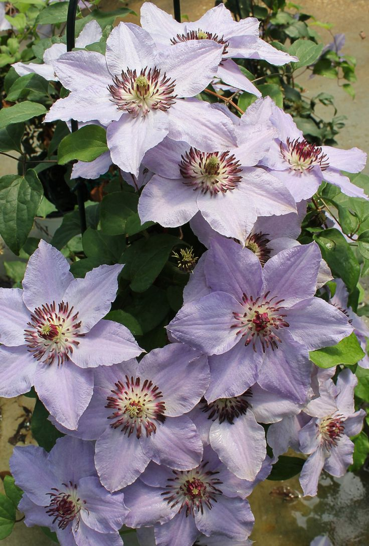 the 25 best ideas about clematis varieties on pinterest clematis plants purple garden and. Black Bedroom Furniture Sets. Home Design Ideas