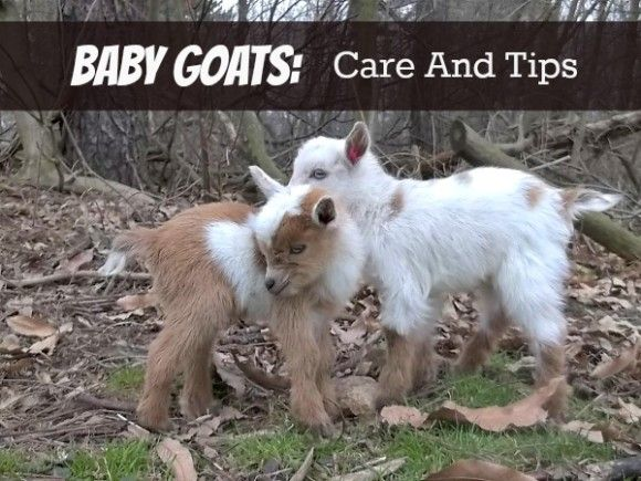 How to care for baby goats.