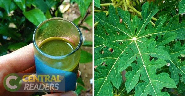 Papaya leaves contain powerful healing compounds that are very important for great health and vitality. Juicing the papaya leaves is the best way to properly get their health benefits.