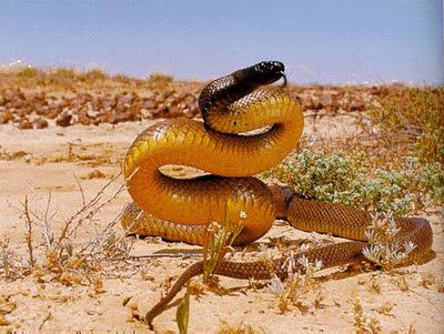 Inland Taipan has the most toxic venom of any land snake in the world. The maximum yield recorded for one bite is 110mg, enough to kill about 100 humans, or 250,000 mice! With an LD/50 of 0.03mg/kg, it is 10 times as venomous as the Mojave Rattlesnake, and 50 times more than the common Cobra.