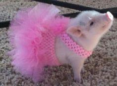 El minicerdo, mini pig o cerdo tacita de té, es una variedad de cerdo doméstico modificado por el humano para lograr tamaños pequeños