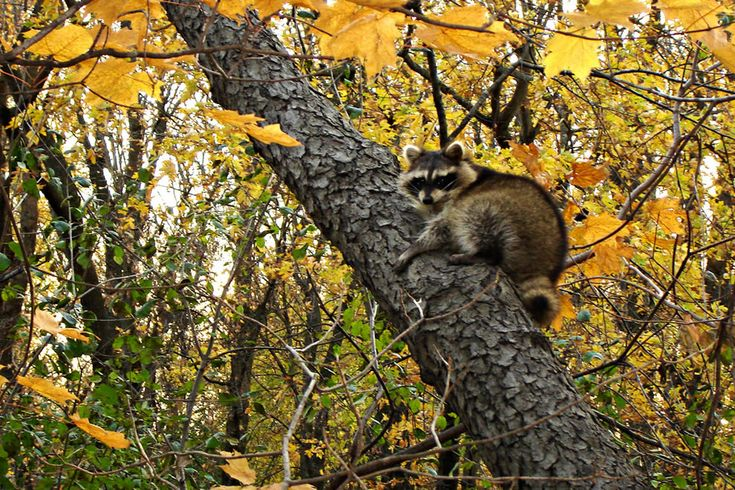 Raccoon sleeping in the Norway Maple trees during autumn at Morton Grove, Illinois