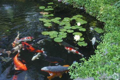 the secret to a low maintenance healthy pond, ponds water features, 4 Fish The fish in your pond will eat algae provided you don t over feed them Be careful not to over stock your pond