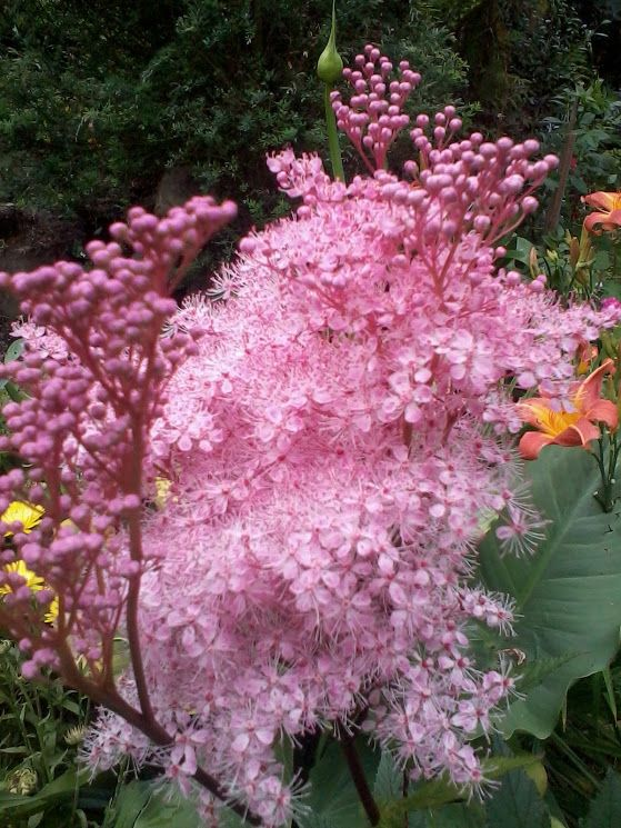 Meadowsweet Pink Filipendula Rubra Projects To Try