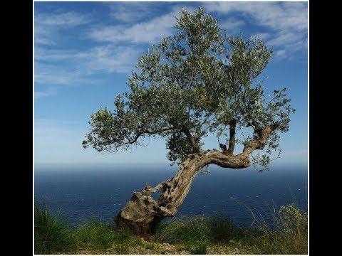 Ein Traum von Baum – Dem Zahn der Zeit zum Trotz Von den Wurzeln bis zur Krone – zehn Bäume erzählen ihre Geschichte und enthüllen die verblüffende Beziehung zwischen Natur und Kultur. In dieser Folge: Die schwedische Fichte Old Tjikko und der tausendjährige Olivenbaum im korsischen... - #Arte, #Doku, #Menschen, #Natur  http://www.dokuhouse.de/ein-traum-von-baum-dem-zahn-der-zeit-zum-trotz/