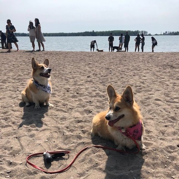 Toronto Has A Corgi Beach Day And We Can T Get Over All The