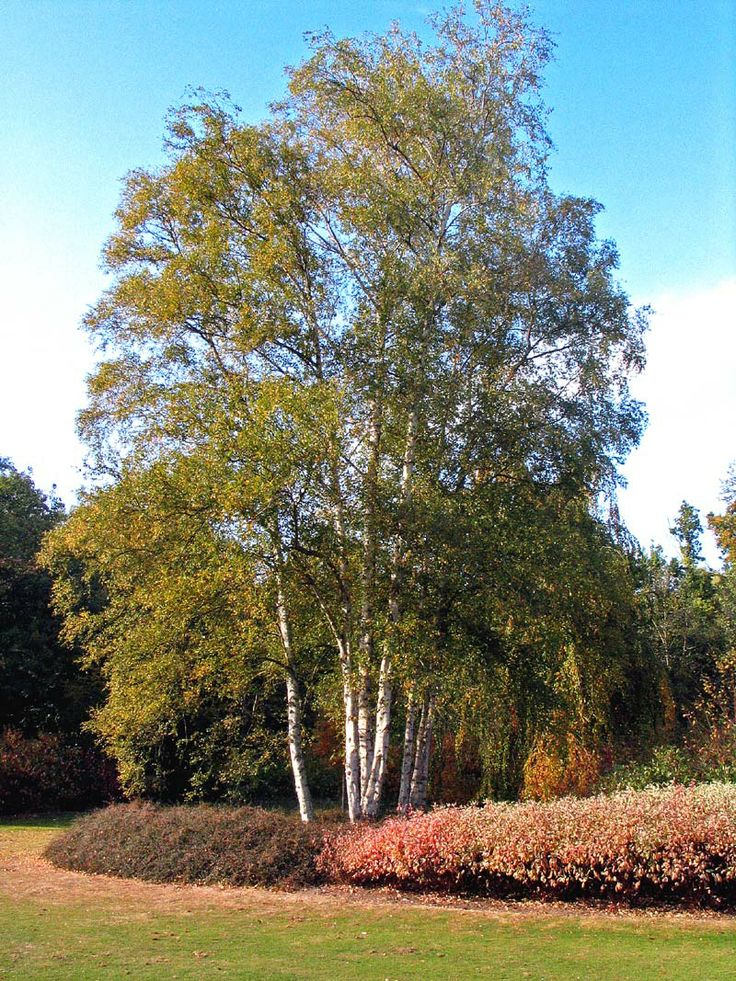 Mature birch trees