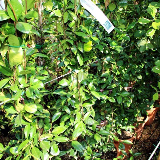 #Piante #Gelsomino #Rhyncospermum Jasminoides -  Spedizione Gratuita da €50 via @europlantsvivai
