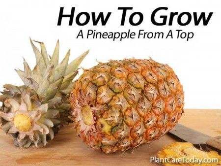 how to grow a sweet tasting pineapple from a top gardening and homesteading pinterest. Black Bedroom Furniture Sets. Home Design Ideas