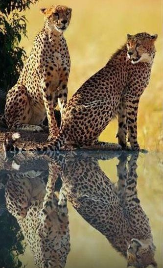 Funny Wildlife, Cheetah Reflection!! Courtesy of Ronny Guitard