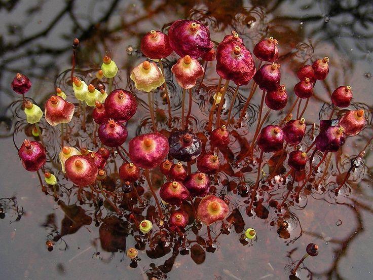 Сплахнум красный (Splachnun rubum) - очень специфический мох, растет только на Севере (Скандинавия, заполярная Сибирь и Дальний Восток, иногда, правда, встречается на Кавказе)