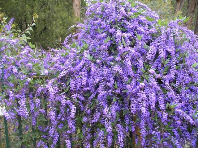 Hardenbergia Edna Walling Wild Wisteria --- For more Australian native plants…