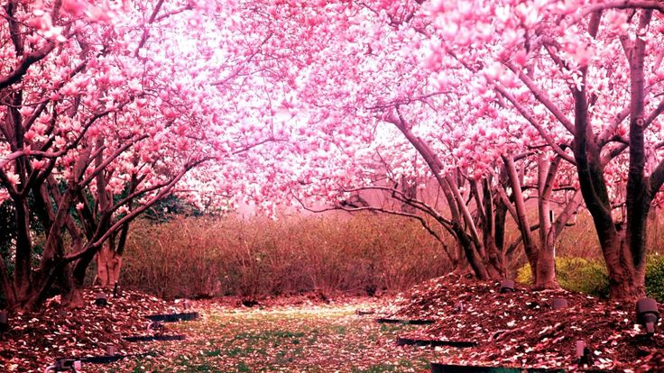 Cherry Blossom Tree For Your Garden