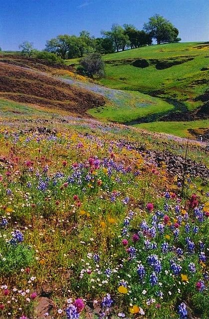 Table Mountain wildflowers bloom through March and April, Oroville, CA  http://www.travelandtransitions.com/destinations/destination-advice/africa/cape-town-travel-things-todo/