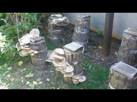 Вырастить грибы вешенки на пнях. - YouTube