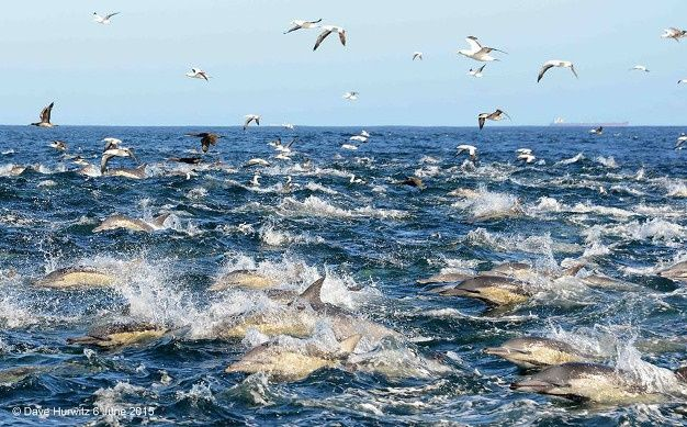 Dolphins and various sea birds, including gannets feasting in the Atlantic waters of False Bay in Cape Town - pic Dave Hurwitz