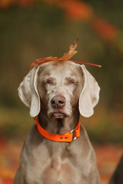 weimaraner autumn and for speed on pinterest