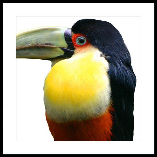 Republic Bird Of Paradise – Toucan Fold Living / Artwork