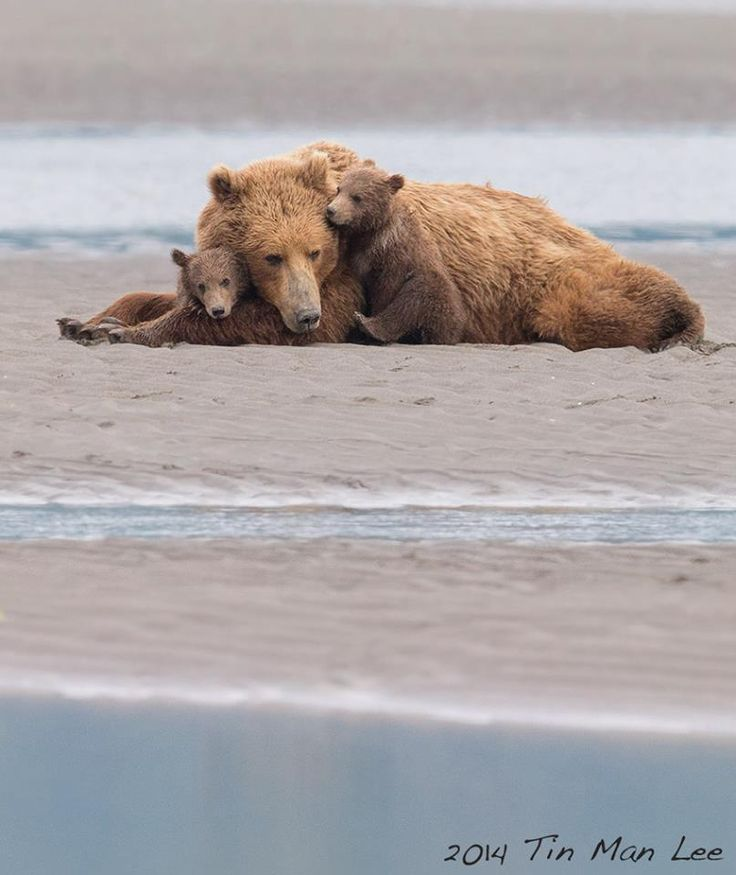 """https://www.facebook.com/photo.php?fbid=746561608740536Hallo Bay, Katmai National Park. 600mm, f/8, 1/1250s, ISO 1600, handheld. It's one of those """"insurance"""" shots while we slowly approached this family. I was told not to take any photos while we were walking. But I knew this kind of opportunity wouldn't wait for a second chance."""