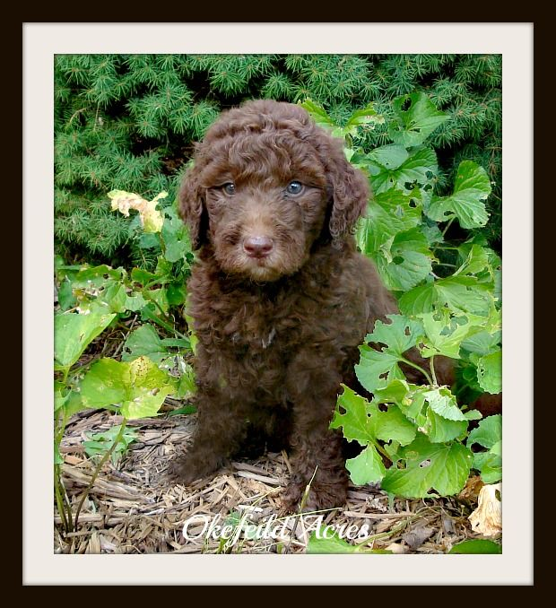 Mini And Standard Goldendoodle Sires of Goldendoodle puppies for sale in Springfield, Missouri - Okefeild Acres