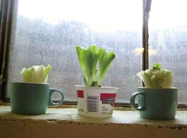 You can grow romaine lettuce from the bottom of a head of lettuce.