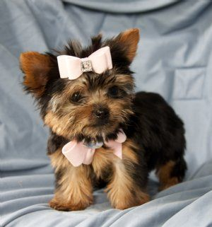 Tiny Yorkie Princess Stunning Perfection! - Teacup Puppies for Sale - Cassie's Closet