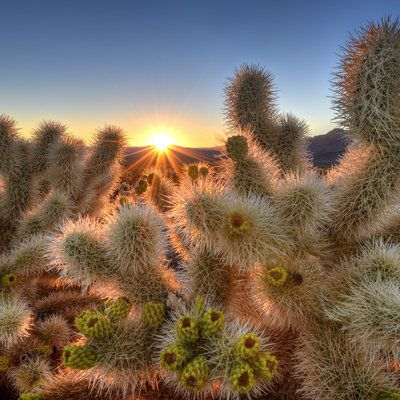 1000 ideas about joshua tree national park on pinterest - Cholla cactus garden joshua tree ...