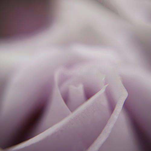 Pink Rose | Flickr - Photo Sharing!