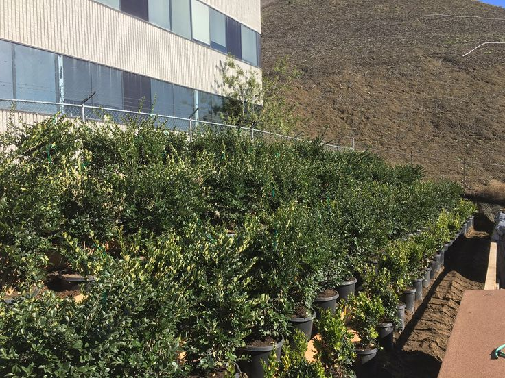 """Here are a few pictures of Ligustrum Texanum, """"Texas Privet"""" growing at our new Nusery."""