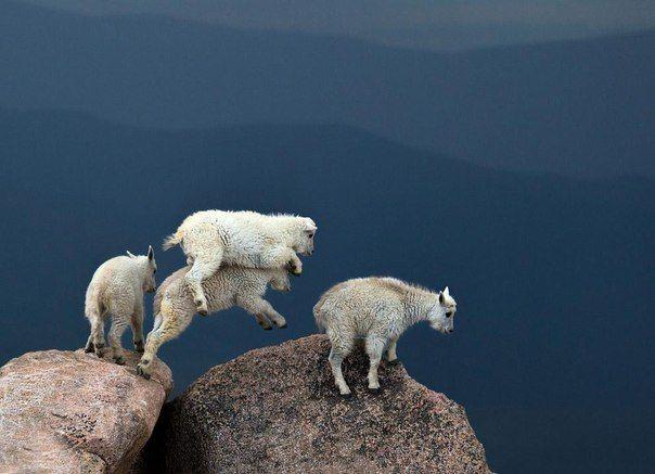Экстремалы. Козы на вершине горы Эванс в Колорадо (высота — 4348 метров над уровнем моря).