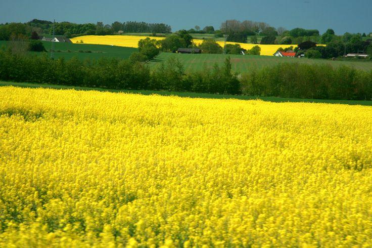 The beautiful surrounding cornflower fields of Dragsholm Castle. Located in Odsherred, Denmark.