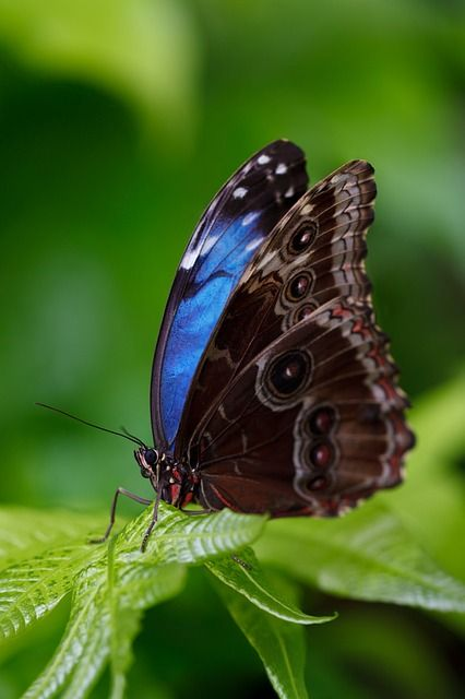 Animal Beautiful Blue Morpho Morpho Peleides