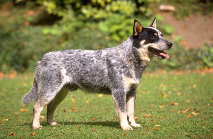 AUSTRALIA-CATTLE-DOG.jpg (1480×971)