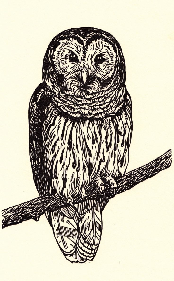 This is a graphic of Eloquent Barred Owl Drawing