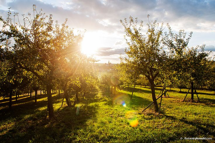 Die Apfelbäume werden von der Sonne geblendet - http://www.schweinfurt360.de/  #Bäume #Äpfel #Herbst