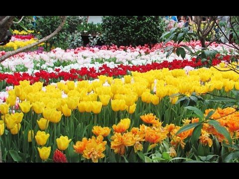 HD- Beautiful Tulip Flower Fields and Gardens | Colorful Flowers Picture - YouTube