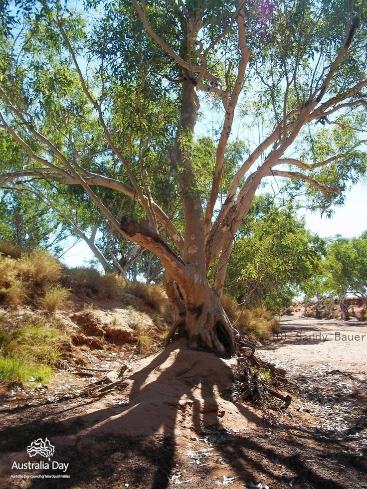 320 best images about Love Gum Trees on Pinterest | Trees ...