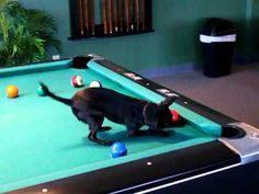 VIDEO: Watch the world's smallest pool player. Amadeus loves to play pool.