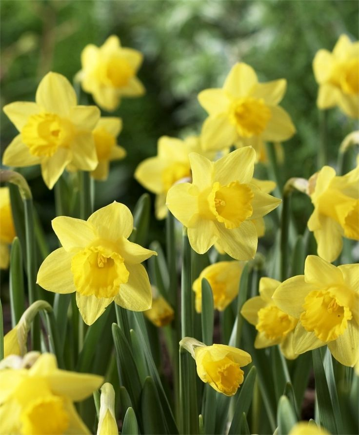 73 best flowers tulips daffodils spring flowers images on narcissus little gem miniature trumpet daffodils narcissi fall 2015 flower bulbs mightylinksfo