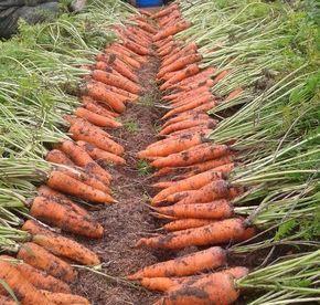 как  на маленькой площади 2,4 м.кв. получить урожай моркови, которого хватит до следующего сезона.