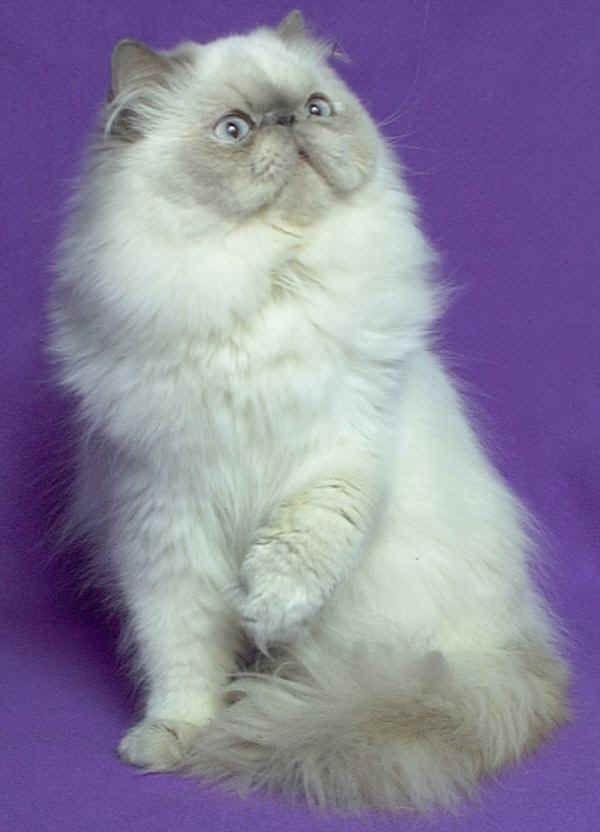 Gatto Himalayano ---- Sono gatti tranquilli e docili, ma a differenza dagli altri Persiani, loro hanno la fama di essere molto vivaci e chiacchieroni, caratteristiche che gli derivano dall'incrocio col Siamese. Presenta una voce gradevole, mai invadente. Molto giocherellone.